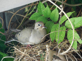 Mother Dove in Nest