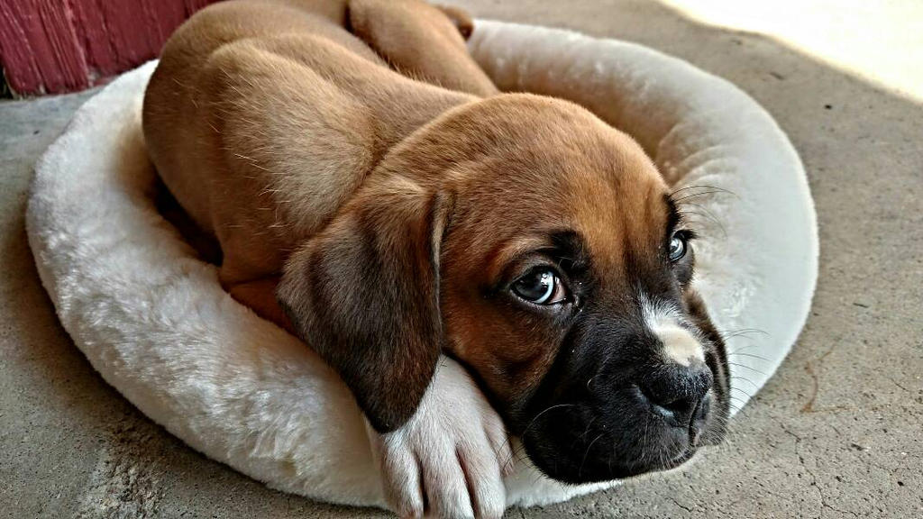 Blue Eyed Boxer Puppy by volpe-artica