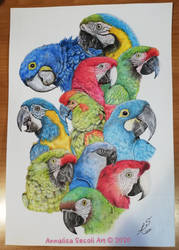 All species of macaw parrots