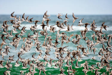 Western Sandpipers at Point Reyes