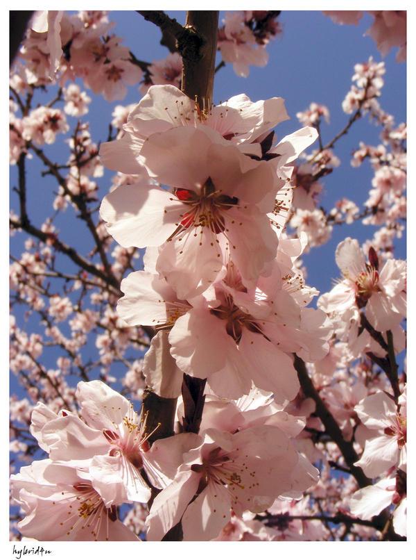 cherry tree by hybrid4u
