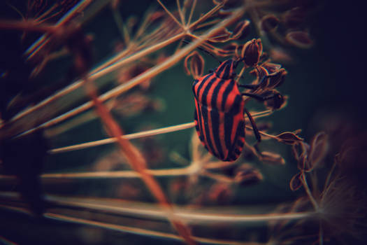 Stripe Stink Bug