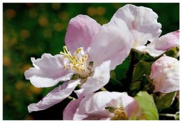 Apple blossom by Kaszydlo
