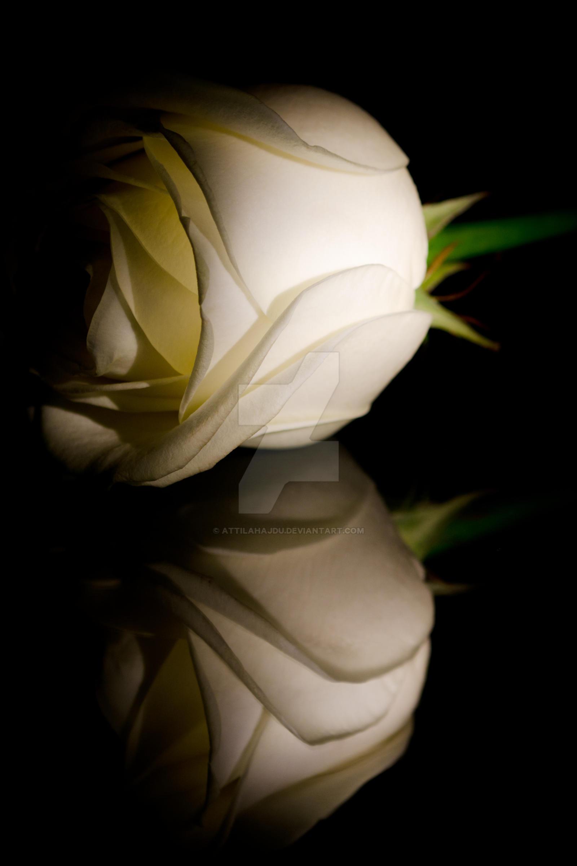 White Rose in dark