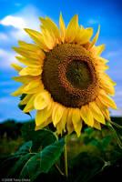 Sunflower by tonydicks