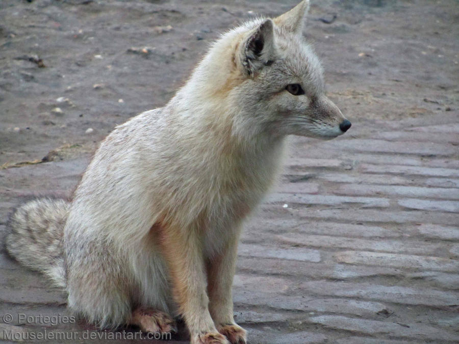 The Fox that Can't be Moved by Mouselemur