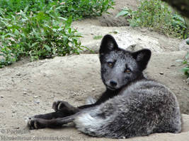 The greyest Arctic Fox by Mouselemur