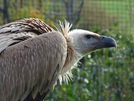 Skulking Griffon Vulture by Mouselemur