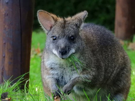 The Wallaby And The Grass