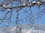 Magnolia in winter 2