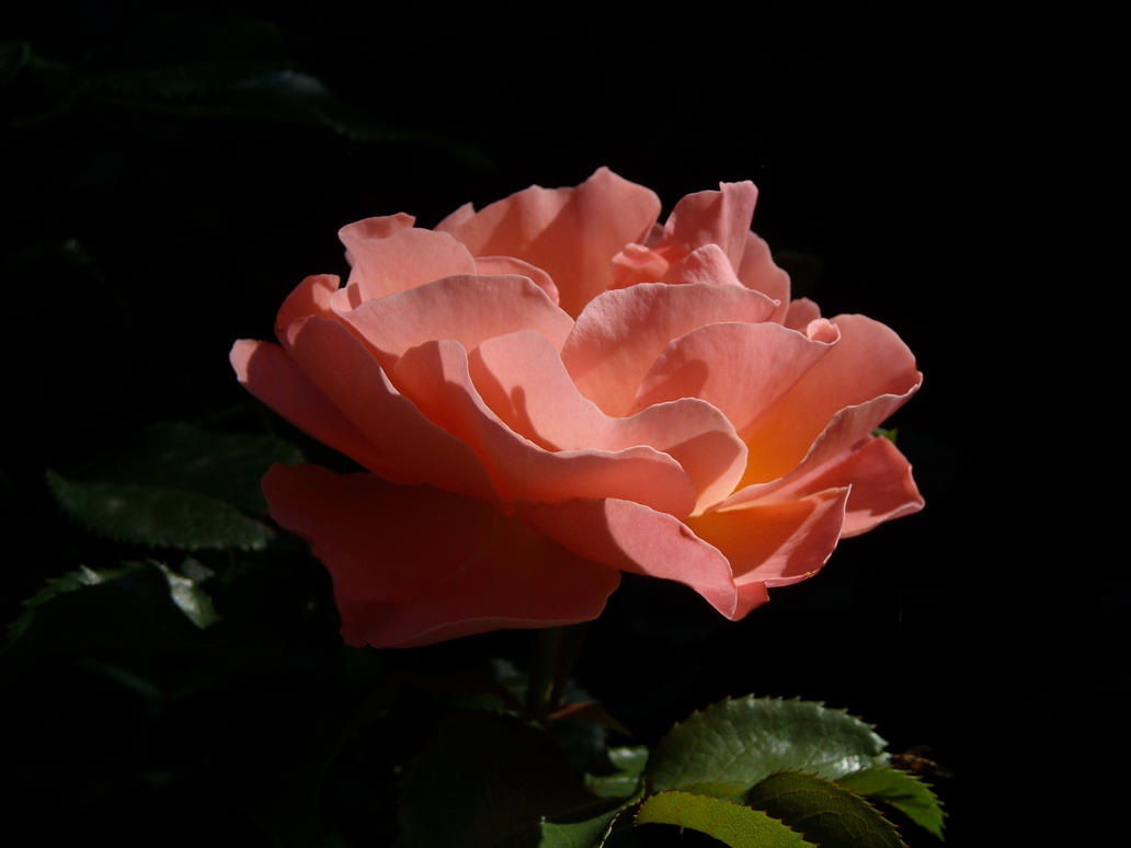Orange rose by TinyWild