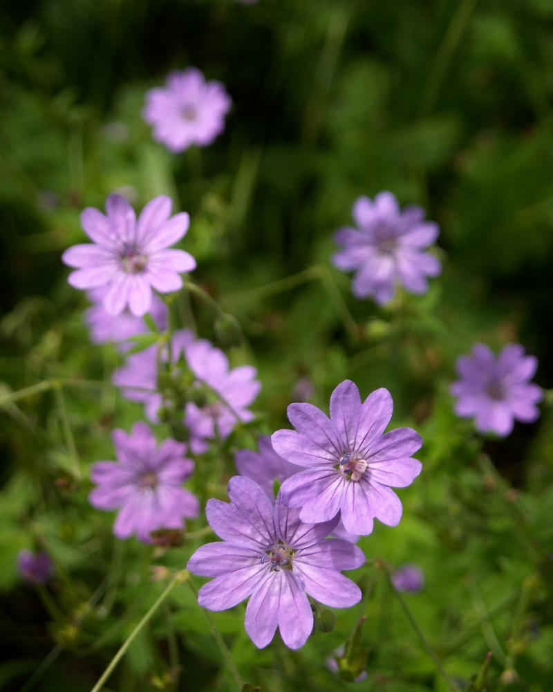 Delicate Purple flowers by TinyWild