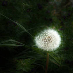 Dandelion in the Dark by TinyWild