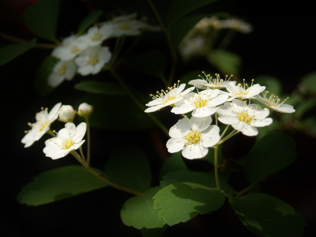 Spiraea from darkness by TinyWild