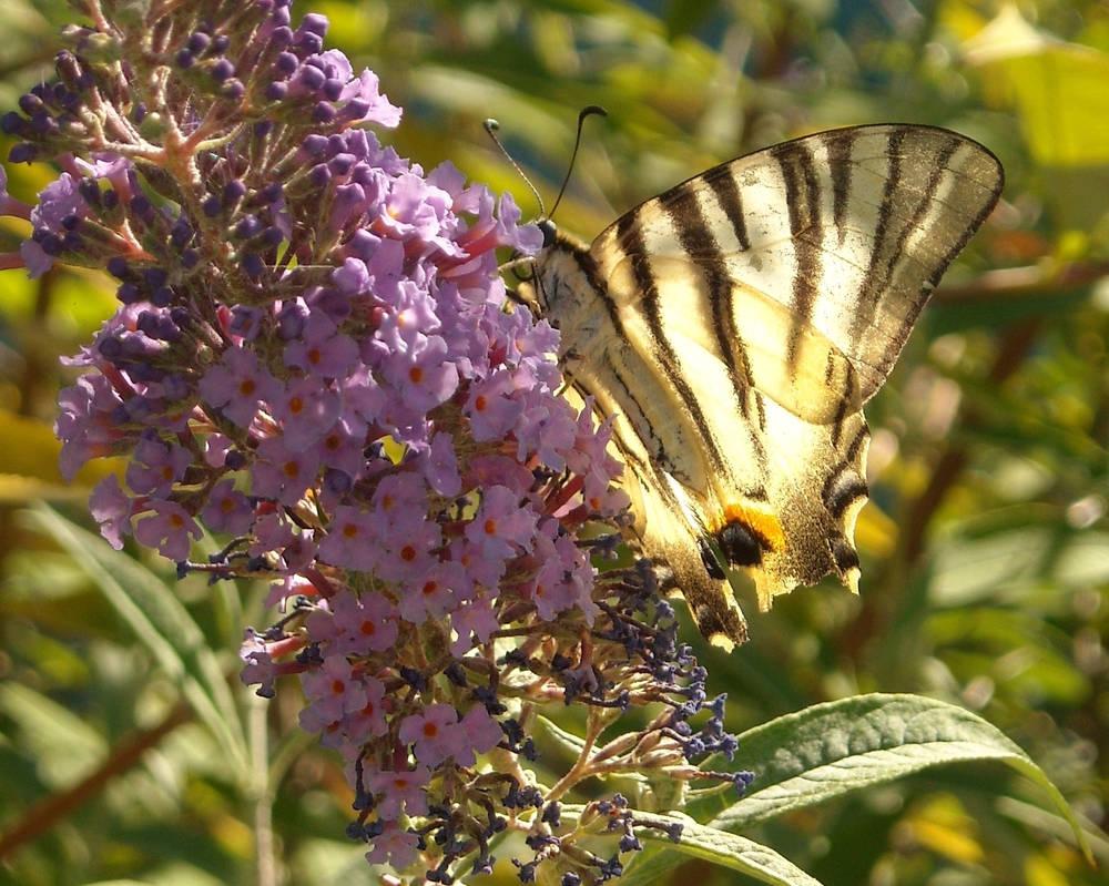 Flaming Scarce Swallowtail