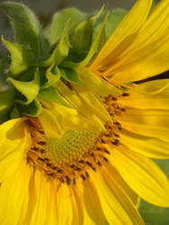 Good Morning Sun Flower
