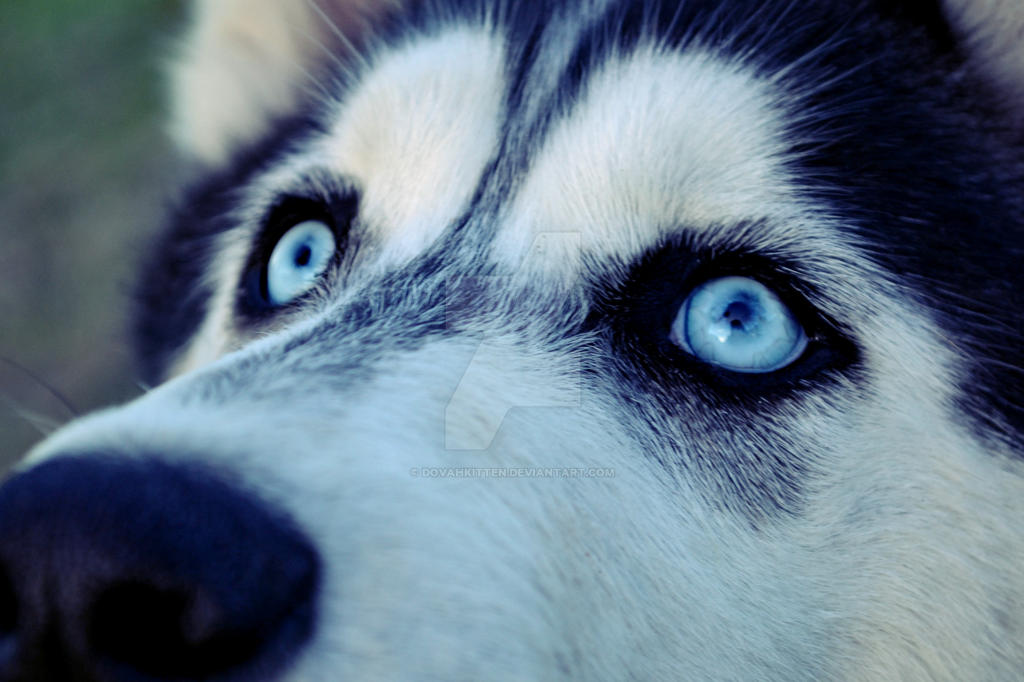 Related Keywords & Suggestions for husky eyes