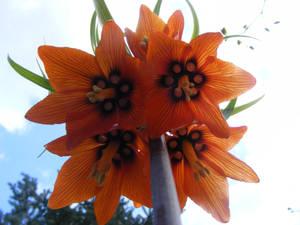 Fritillaria imperialis (crown imperial)