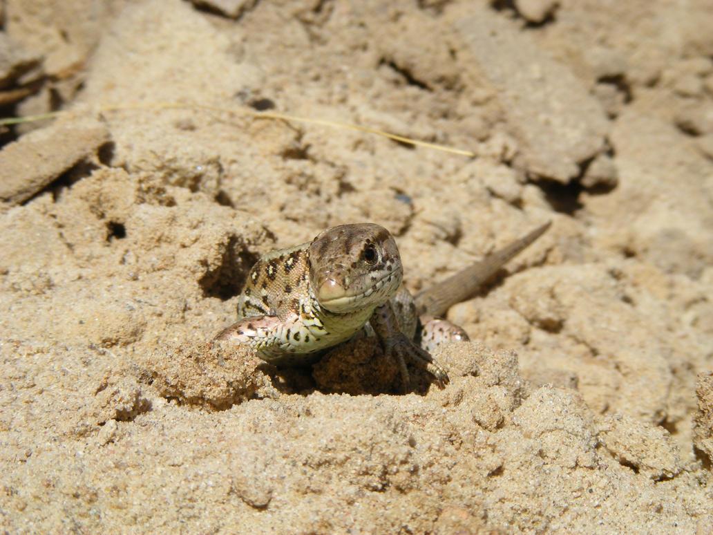 Sand lizard v2 by Lirniklasu