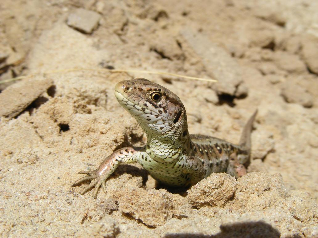 Sand lizard v3 by Lirniklasu