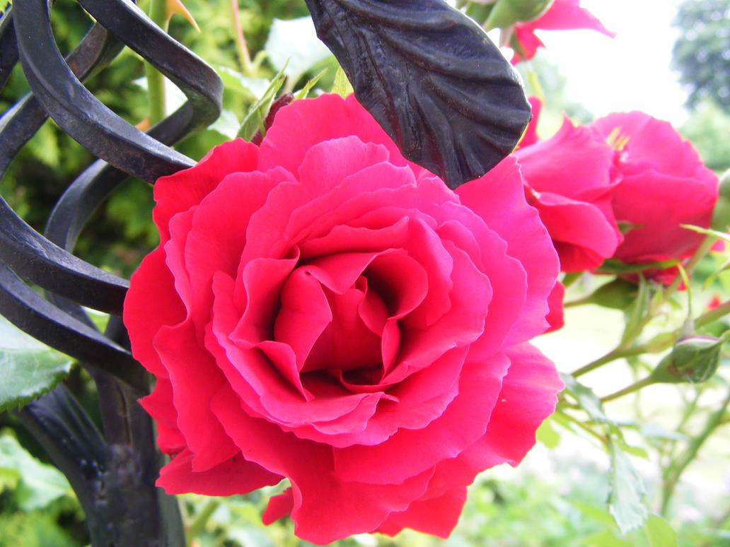 Red rose by Lirniklasu