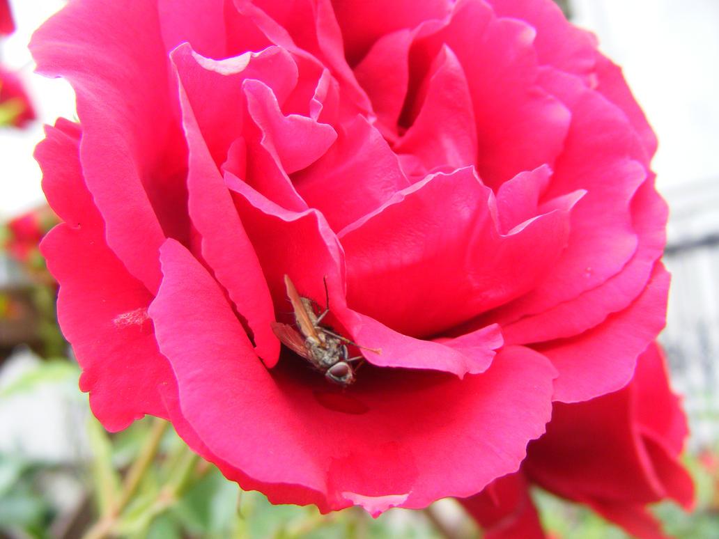 Red rose v2 by Lirniklasu