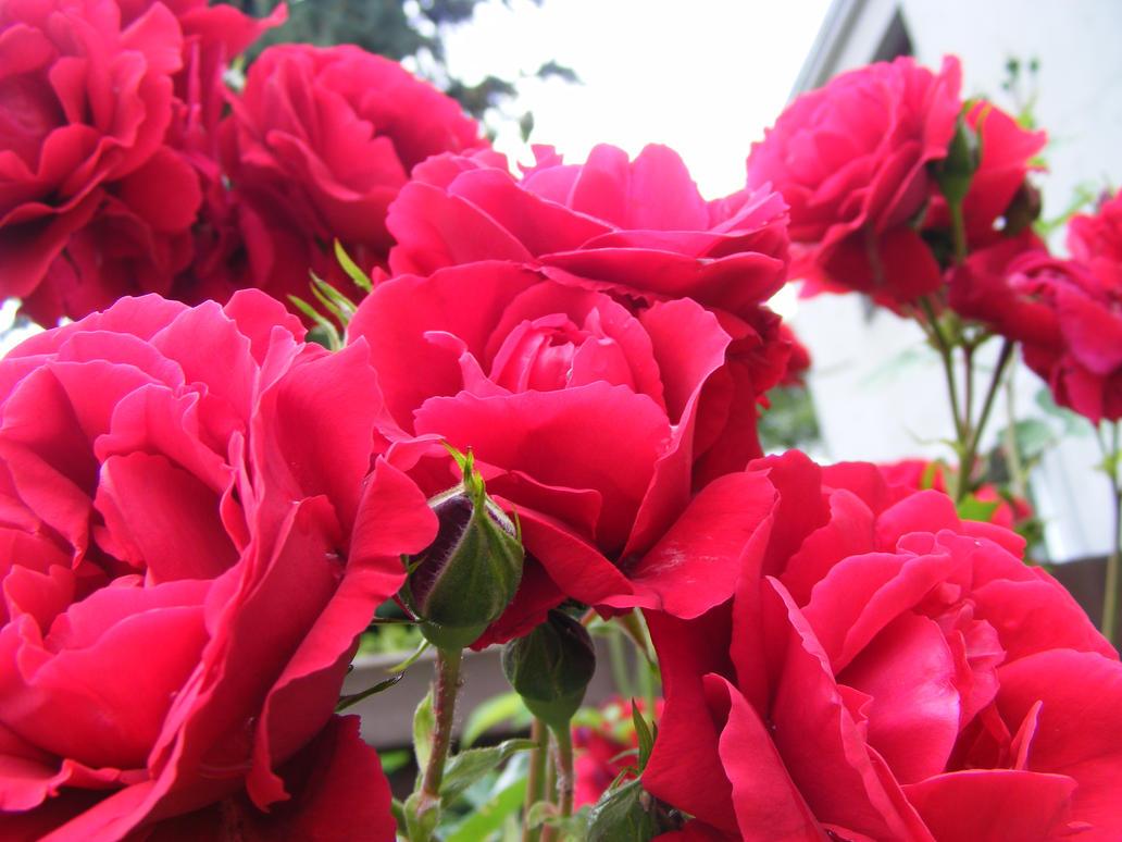 Red rose v3 by Lirniklasu