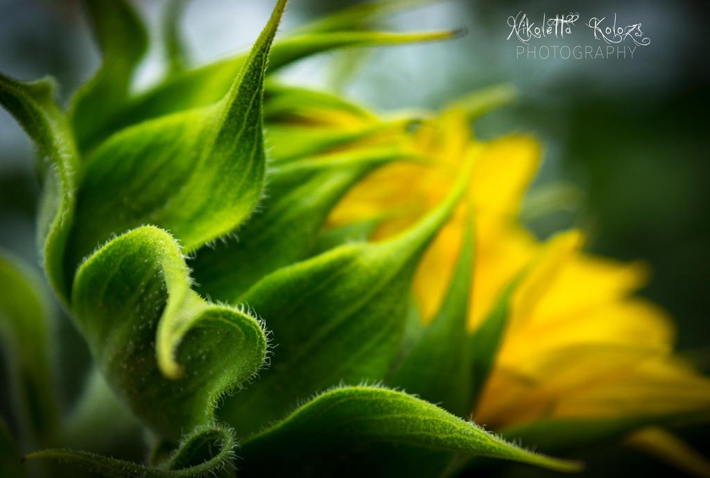 sunflower by Nikoletta-Kolozs