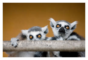 Cross-Eyed Vampire Lemurs by Westerberg