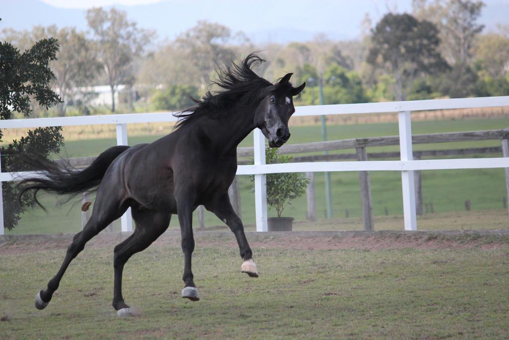 Black arab Horse leaping by xxMysteryStockxx on DeviantArt