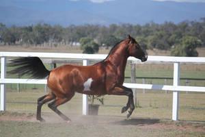 Pinto arabian Stallion/offlead/6