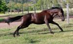 Dark horse full stretch stock