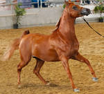 Chestnut Arabian stock2