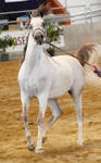 White arabian /red patches/ 3