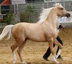 Palamino Arabian 2