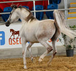 White arabian /red patches/ 1