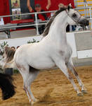 White arabian /red patches/ 4