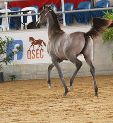 Grey Arabian 1
