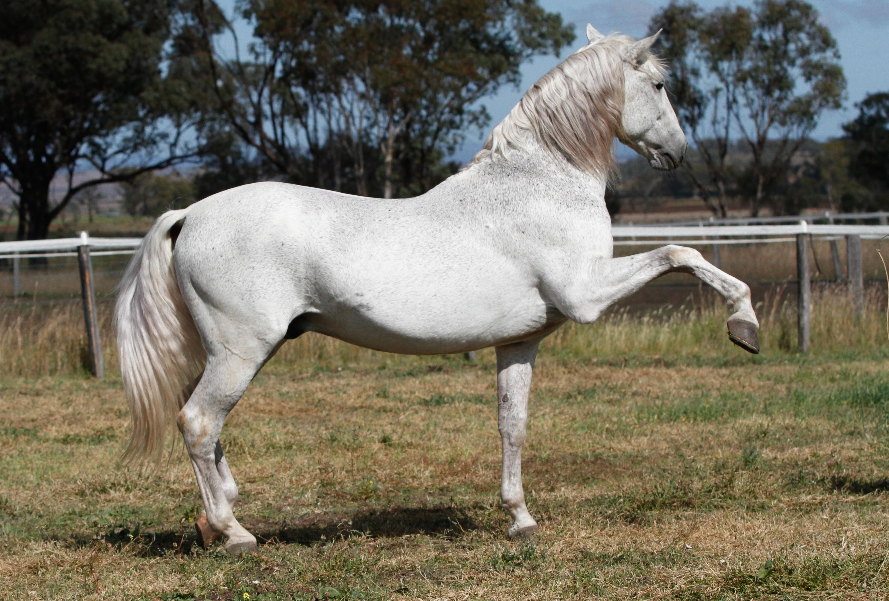 Andalusian Stallion Spanish Walk By Xxmysterystockxx On