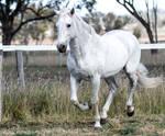 Andalusian stallion 5