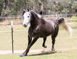 steel Grey Arabian stock 5
