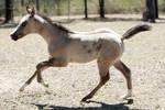 foal stock 18