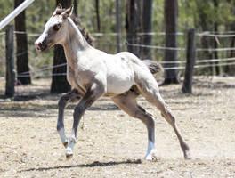 foal stock 17 by xxMysteryStockxx
