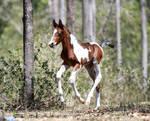 Foal stock 16
