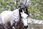 Dappled Grey Andalusian  3