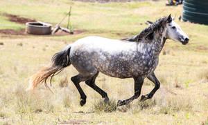 Dappled Grey Andalusian  2