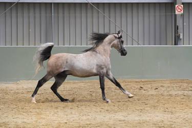 Arabian light grey stock 2 by xxMysteryStockxx