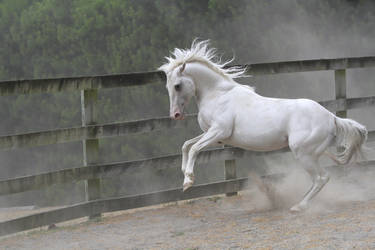 White stallion mini rear by xxMysteryStockxx