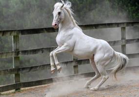 White stallion rear 2