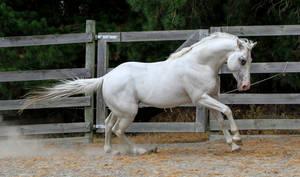 White stallion canter 2